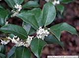 3 Gallon Size,Fragrant TEA Olive, Very Fragrant White Flowers(fall/winter/ Spring Blooming), exotic fragrance, whole yard will smell of the frgrance (Hydrangeas Shrub, Evergreens, Gardenia(