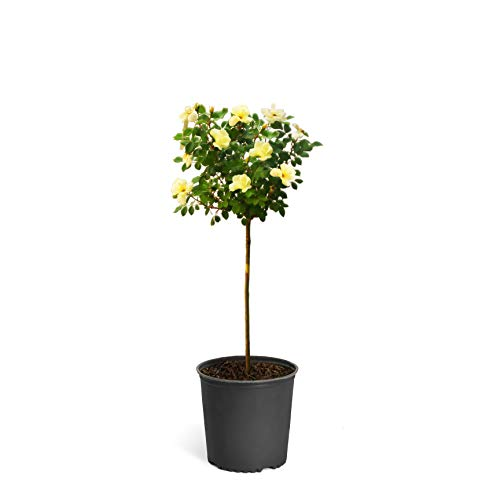 Sunny Knock Out Rose Trees 2-3 feet Tall - Tons of Fragrant Yellow Knock Out Roses on a Patio Rose Tree | Cannot Ship to AZ ()