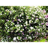 Bacopa Seeds,mixed,Perfect for hanging baskets and windowboxes. Perennial !
