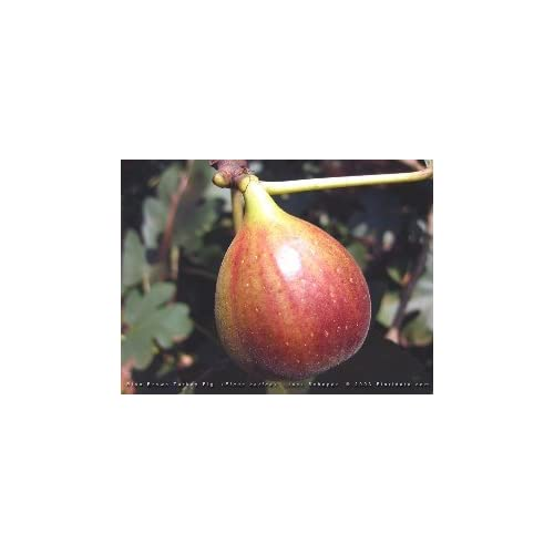 Celeste Fig Tree Ficus Carica NO SHIPPING TO CA, AZ, AK, HI, OR or WA PER YOUR STATE LAWS free shipping