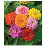 Seeds and Things 500 + Zinnia California Giant Flower Bulk Seeds Mixed