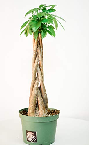 Pacific Tropicals & Succulents, Money Tree, Live Indoor Plant, Ships in 6 inch Grow Pot, Homegrown