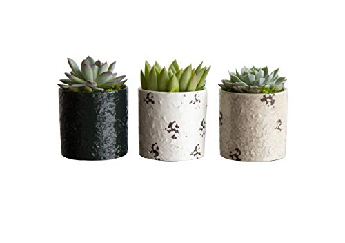 - Hallmark Flowers 3 Piece Succulents In 3-Inch Distressed Dolomite Containers