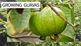 red Guava fruit Seeds fragrance 150 seeds
