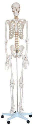 Human Skeleton Model, 1st Quality, Life Size on