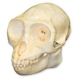 Douc Langur Skull (Teaching Quality Replica)