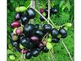 1 Jamun Fruit Tree Syzygium Cumini Indian Wax Apple Pot'd Starter Never Br Plant
