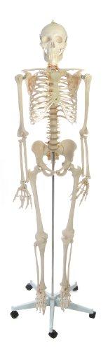 American Educational Rugged Plastic Life Sized Skeleton Model, 67