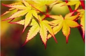 (Coral Bark Japanese Maple Acer palmatum 'Sango Kaku' 3 - Year Live Plant Brilliant Red Bark is Bright Red, Year Round Beauty With a Spectacular Range of Leaf Colors )