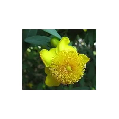 Hypericum Sunburst St.John's Wort, Year Round Interest, Good for Mid, Hydrangeas Shrub, Evergreens, Gardenia -West(Liner): Toys & Games