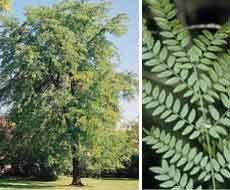 Gleditsia triacanthos: Honeylocust Seeds