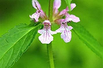 PLAT FIRM 100 Germander canadienne Teucrium Seeds