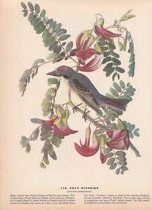 "1942 Vintage AUDUBON BIRDS #170 /""GRAY KINGBIRD/"" Full Color Art Plate Lithograph"