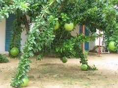 Stunning Gourd Tree Crescentia alata 2 seeds rare (Gourd Tree)