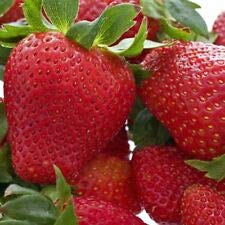 50 Strawberry Plants Honeoye-Organically Grown (Pack of 50 Bare Root) Zones: 4-8 cKE -81