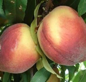Belle Georgia Peach - Belle of Georgia Peach Tree 3 Gallon - Live Plants Shipped 4 Feet Tall by DAS Farms (No California)