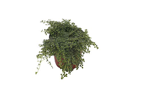 Thyme 'Elfin' Herb Plant (Pack of 12) by Dutch Country Classics (Image #2)