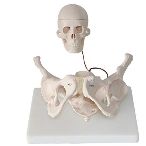 Female Labor Teaching Aid Pelvic with Fetal Head Skeleton Model Anatomy Medical Childbirth Teaching Aid