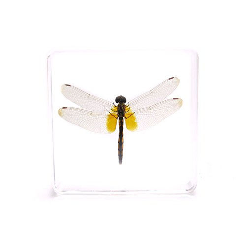 - Amazingbug Dragonfly Paperweights Specimen for Science Education Paperweight for Book for Office for Desk