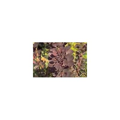 Cotinus coggyria atropurpurea Purple SMOKETREE Seeds! : Garden & Outdoor