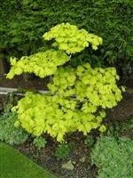 Acer Shirasawanum Aureum Golden Full Moon Maple Amazoncouk