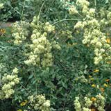 20 HENNA Mehandi Dye Plant Lawsonia Inermis Tattoo Flower Tree Seeds *Comb S/H