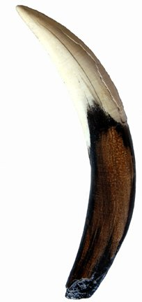 (Prehistoric Planet Store - Smilodon, canine tooth, Museum Replica)