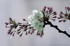 Pack of 1, 25 Lbs. Fragrance Oil Cherry Blossom Scent