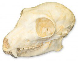 Brown Lemur Skull (Teaching Quality (Brown Lemur)
