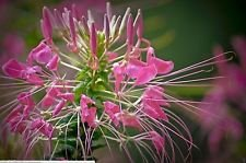 Cleome,Rose Queen,50 Seed (Hassleriana) Spider Flower or Grandfather's Whiskers - Cleome Rose Queen