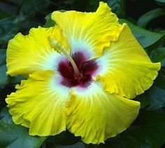 Egg Yoke Hardy Hibiscus Seeds - 20+ Seeds Per Packet