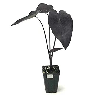AchmadAnam - Live Plant - Elephant Ear Black Ripple Puckered Up Colocasia 3-Inch Pot : Garden & Outdoor