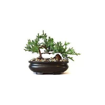 Juniper Tree Bonsai Plant Flower Garden Houseplant Best Gift Indoor New: Garden & Outdoor
