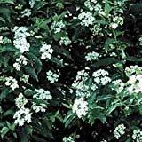 Silky Dogwood, cornus Amomum 10, 50, 250 or 1000 Seeds (50 Seeds)