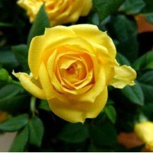 plantsguru Yellow Rose Plant Roses at amazon
