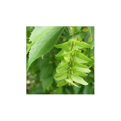 American Hornbeam Carpinus Caroliniana 10, 20 Seeds : Garden & Outdoor