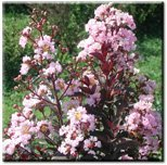 Rhapsody in Pink Crapemyrtle Tree - Live Plant Shipped Over 2 Feet Tall by DAS Farms (No California) ()