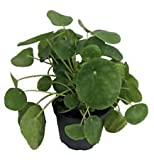 "XXX Large Chinese Money Plant - Pass It On Plant - Pilea peperomioides - 6"" Pot"