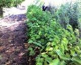 4-american-hazelnut-corylus-americana-6-12-seedlings