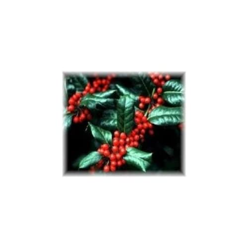 "Cheap (1 Gallon ) ""Nellie R Stevens"" HOLLY- Gorgeous Evergreen, Dense, Broad Pyramidal Shape, Great For Privacy Screen, Hedges or Borders free shipping"