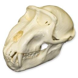 Celebes Macaque Monkey Skull (Teaching Quality Replica) (Skull Monkey)