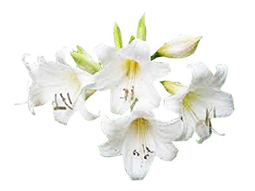 Special Sale: 1 Jumbo Bulb - White Amaryllis Belladonna - White Naked Lady Bulb for Outside (Bulb Amaryllis Sale)