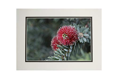 - Red Dwarf Bottle Brush Flower - Photography A-94594 (11x14 Double-Matted Art Print, Wall Decor Ready to Frame)