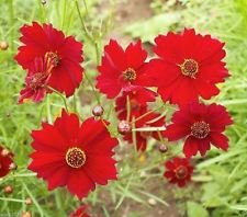 - Plains Coreopsis-Dwarf Red- mass plantings.tickseed ,must Have,3,000 Seeds