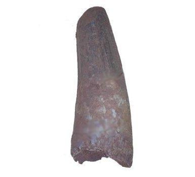 U`Gems Dinosaur Tooth Genuine Large Spinosaurus Natural F...