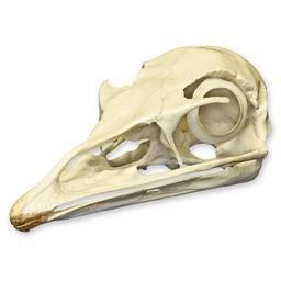 Emu legs | Animal anatomy, Animals |Emu Anatomy