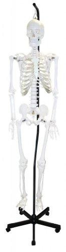 Hanging Arm Cast - Walter Products B10201H Human Skeleton Model, Hanging, Full Size 66