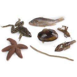 Nasco Dissection Survey Set – Zoology Survey Set 7 Medium Specimens Lab Specimen – LS01570