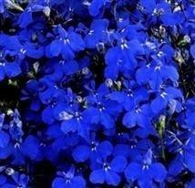 Lobelia - Riviera Midnight Blue - 1000 Seeds NutsnCones