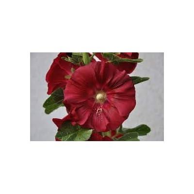 Alcea Rosea (Red Hollyhock) 20 Seeds : Garden & Outdoor